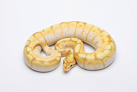 Spider CG Ball Python or Royal Python (Python regius), male