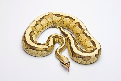 Vanilla Cream Ball Python or Royal Python (Python regius), male