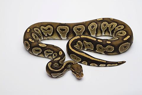 Hypo Black Head Hat Albino Ball Python or Royal Python (Python regius), male