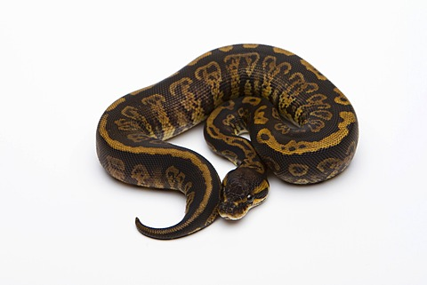 Granite Ball Python or Royal Python (Python regius), female