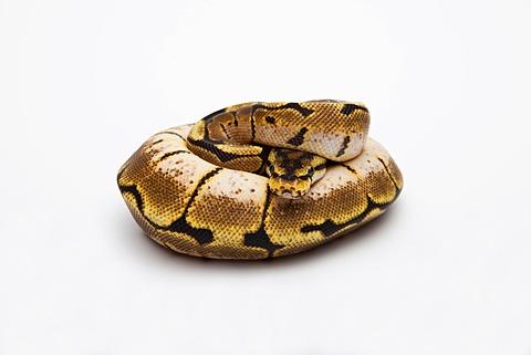 Spider Ball Python or Royal Python (Python regius), female