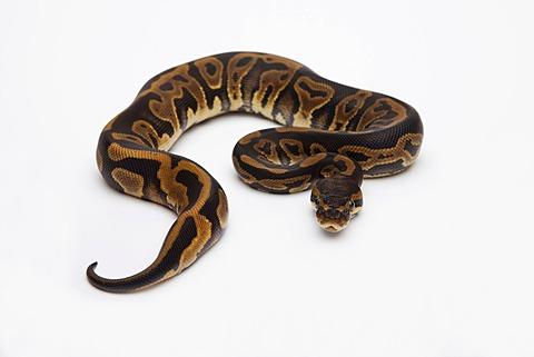 Leopard Ball Python or Royal Python (Python regius), female