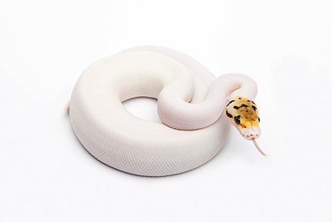 Bumble Bee Piebald Ball Python or Royal Python (Python regius), female