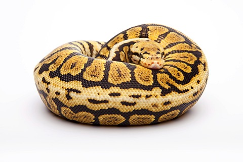 Royal python (Python regius), Powerball, male, reptile breeder Willi Obermayer, Austria