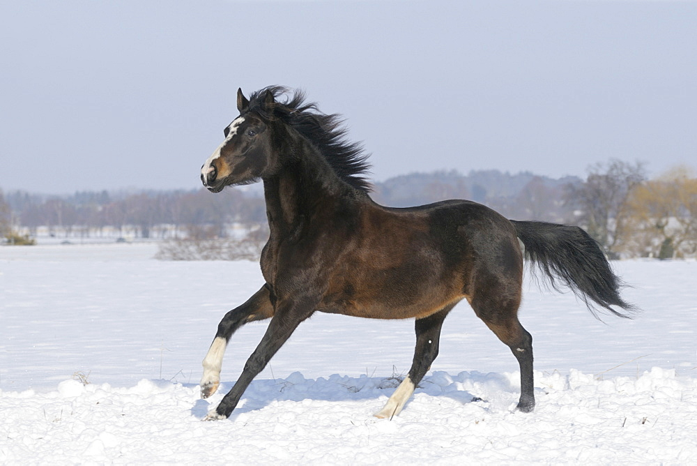 Paso Fino, mare in winter
