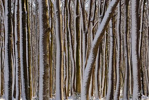 Snow-covered tree trunks in a wintery deciduous forest, Germany