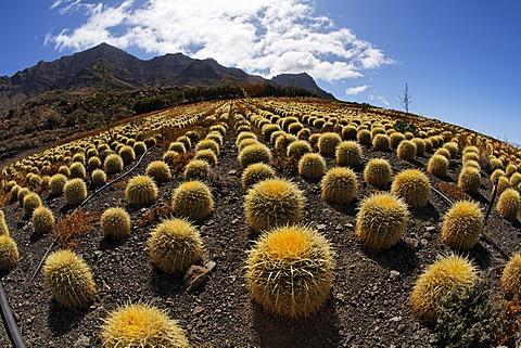 Cactus plantations in Aldea de San Nicolas, Gran Canaria, Spain - 832-376714