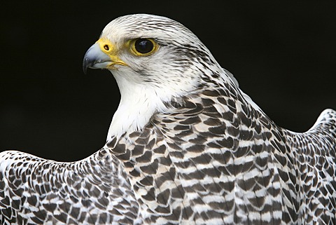 Gyrfalcon or Gyr Falcon (Falco rusticolus) looking back over its shoulder