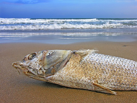 Dead stranded fish on the beach