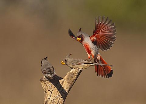 Pyrrhuloxia or Desert Cardinal (Cardinalis sinuatus), male and female fighting, Starr County, Rio Grande Valley, South Texas, USA