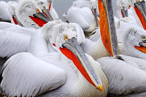 Dalmatian Pelicans (Pelecanus crispus), Lake Kerkini, Greece, Europe