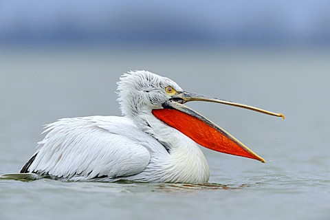 Dalmatian Pelican (Pelecanus crispus) with an open beak, on Lake Kerkini, Greece, Europe