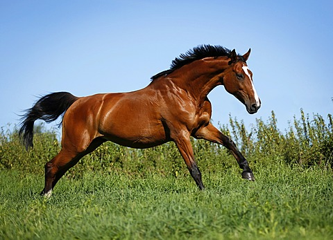 Brown mare, Wielkopolska, Polish warmblooded horse, galloping across a meadow