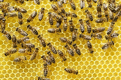 Newly developed honeycomb with worker bees (Apis mellifera var. carnica)