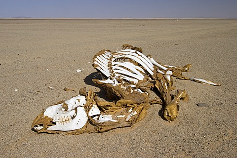 Dead camel in the desert