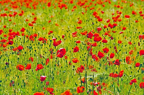 Red poppies (Papaver rhoeas) in a wheat field
