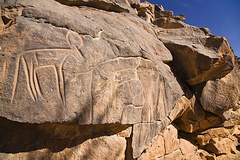 Rock engravings in the Wadi Mathendous, giraffe, Wadi Barjuj, stone desert, Libya, Sahara, North Africa, Africa