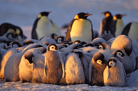Emperor penguins (Aptenodytes forsteri) with chicks, Weddell Sea, Antarctica