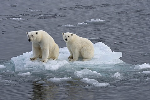Polar Bears (Ursus maritimus), female and juvenile on an ice floe in the pack ice, Spitsbergen Island, Svalbard Archipeligo, Svalbard and Jan Mayen, Norway, Europe - 832-378324