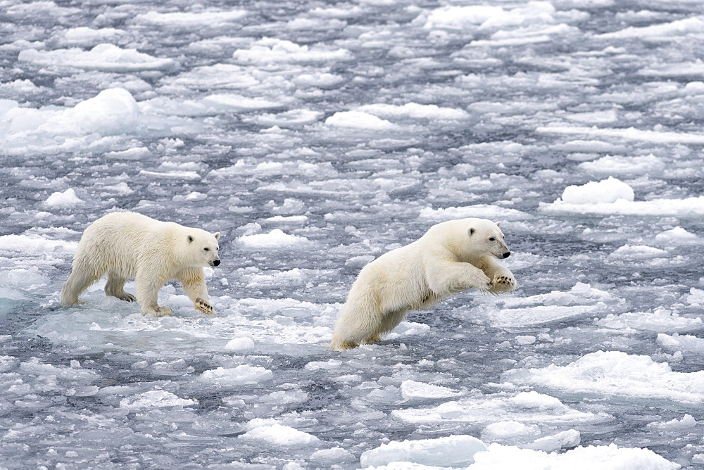 Polar Bears (Ursus maritimus), female and juvenile moving through the pack ice, Spitsbergen Island, Svalbard Archipeligo, Svalbard and Jan Mayen, Norway, Europe