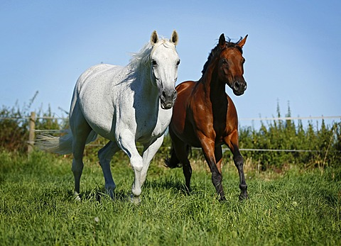 Two warmblood horses, grey and brown, galloping across a meadow, Karlsbad, Karlsruhe, Baden-Württemberg, Germany, Europe