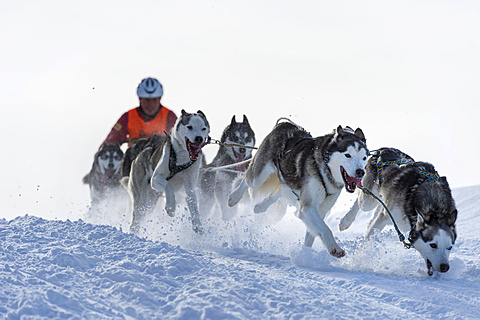 Sled dog racing, sled dog team in winter landscape, Unterjoch, Oberallgäu, Bavaria, Germany, Europe