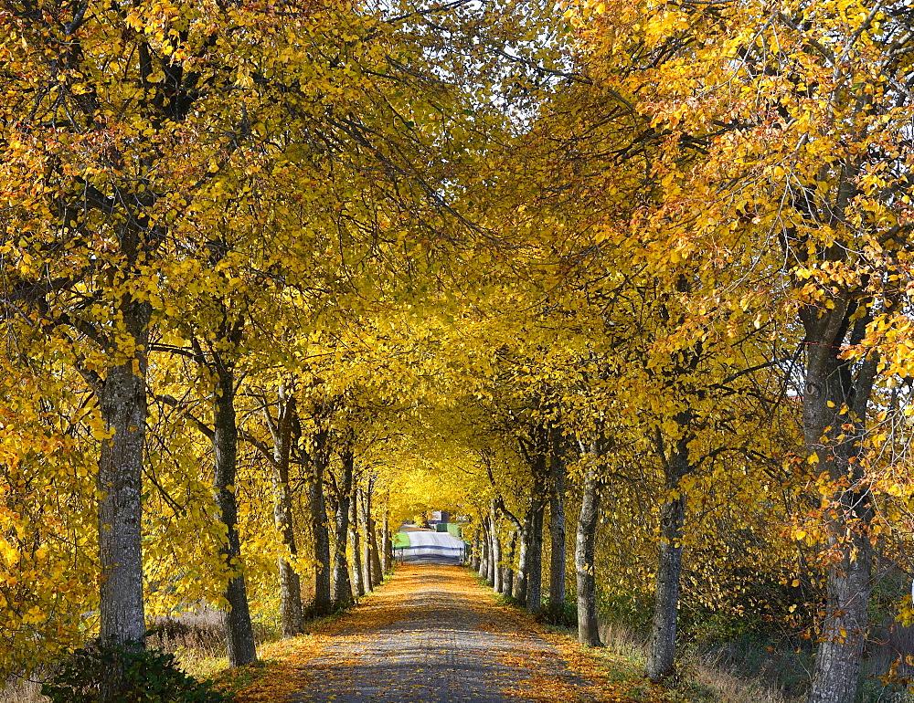 Avenue, autumnal colours, Krageholm, Scania, Sweden, Europe