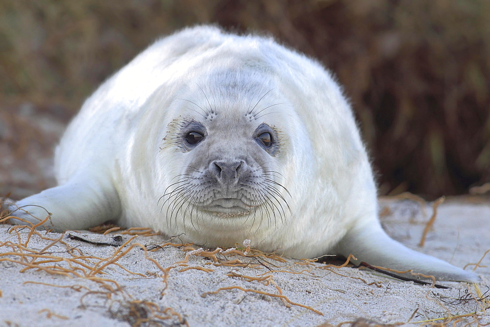 Grey Seal (Halichoerus grypus), pup on beach, portrait, Helgoland, North Sea, Germany, Europe - 832-378967