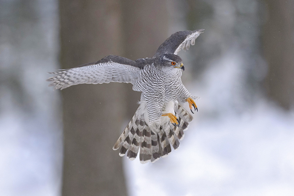 Northern goshawk (Accipiter gentilis), adult male, flying in a spruce forest, winter, Bohemian Forest, Czech Republic, Europe