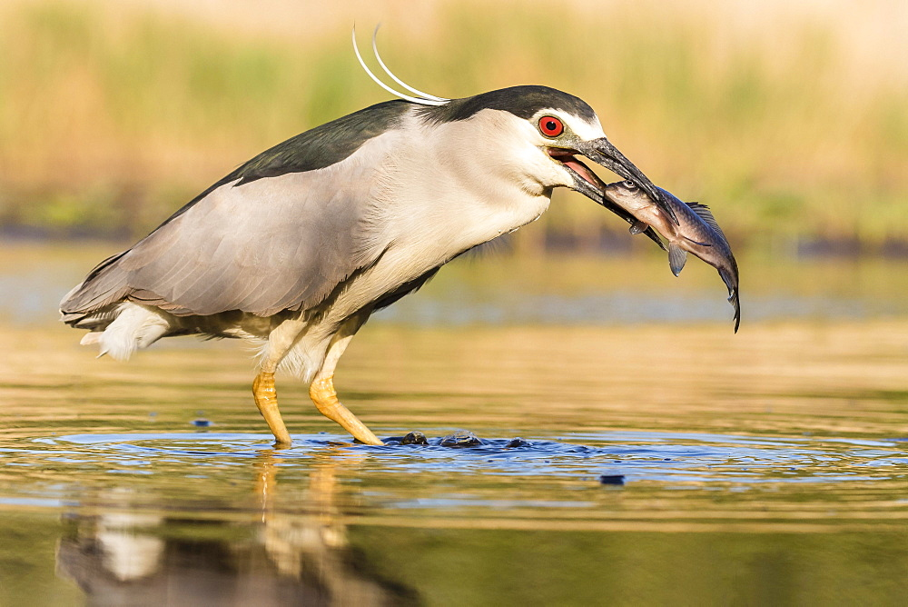 Black-crowned night heron (Nycticorax nycticorax) with fish in the beak, Bacs-Kiskun, Hungary, Europe