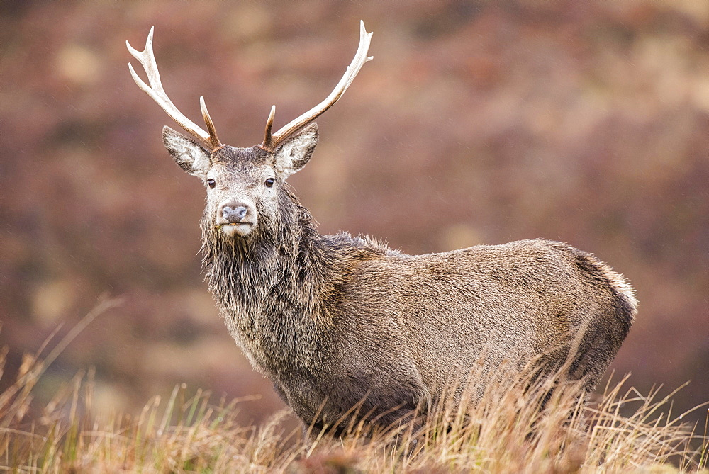 Red deer (Cervus elaphus), Scottish Highlands, Scotland, United Kingdom, Europe
