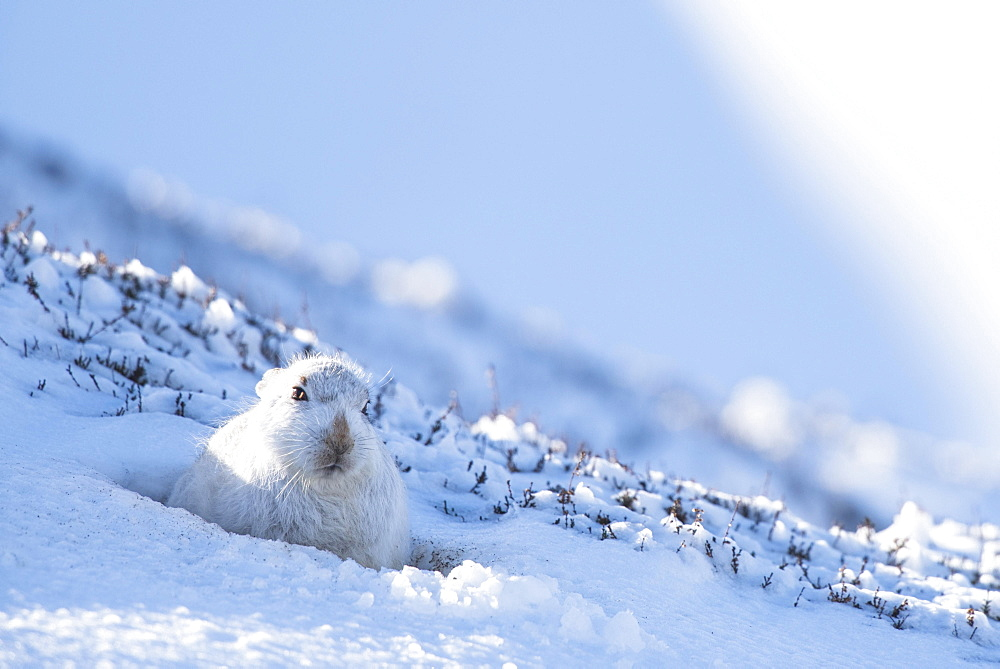 Mountain hare (Lepus timidus) sitting in snow, winter coat, Cairngroms National Park, Scottish Highlands, Scotland, United Kingdom, Europe - 832-379000