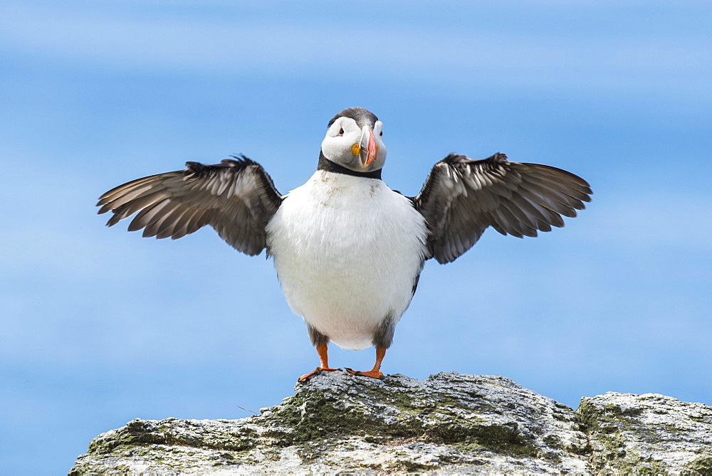 Puffin (Fratercula arctica), spread wings, Lunga, Isle of Mull, Inner Hebrides, Scotland, United Kingdom, Europe