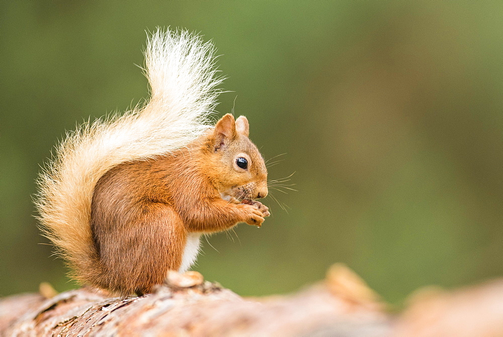 Eurasian red squirrel (Sciurus vulgaris) sits on a branch and eats, Cairngroms National Park, Highlands, Scotland, United Kingdom, Europe