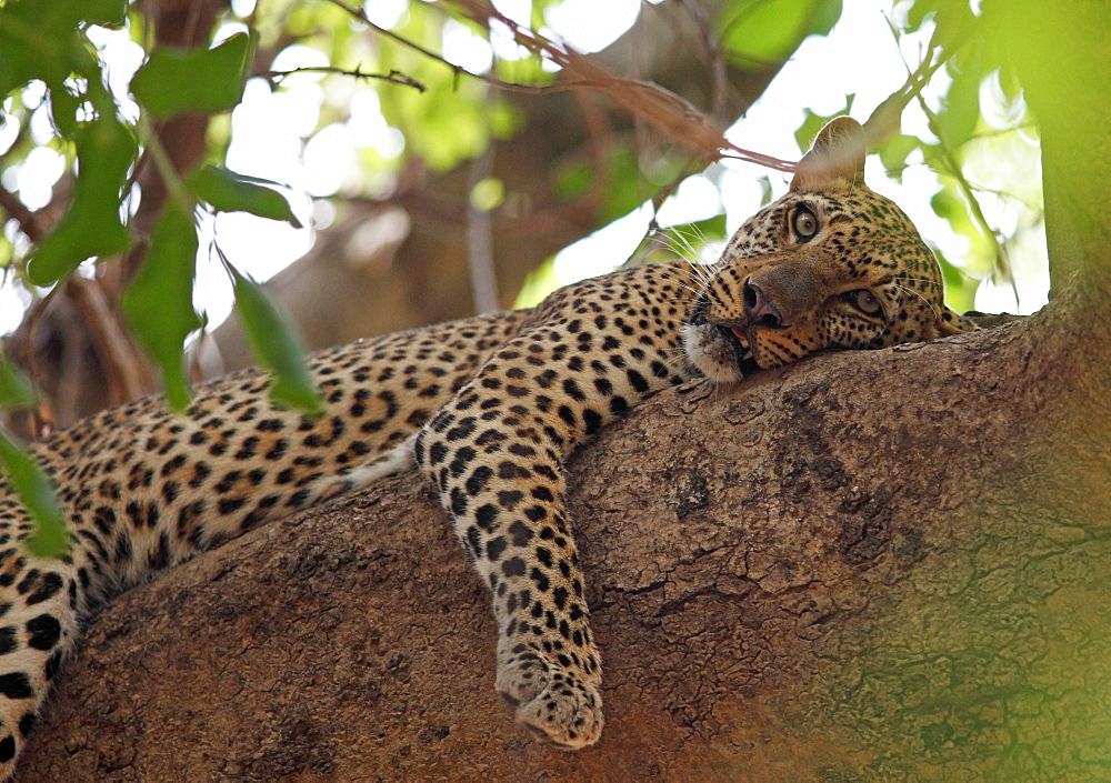 Leopard (Panthera pardus) resting in tree, South Luangwa National Park, Zambia, Africa