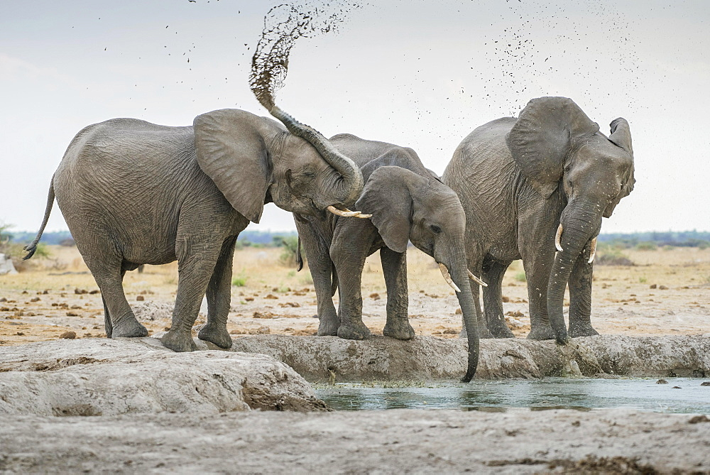 African elephants (Loxodonta africana), drinking at a waterhole, Nxai Pan National Park, Ngamiland District, Botswana, Africa