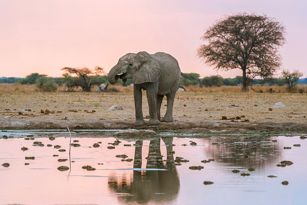 African elephant (Loxodonta africana) drinks at a waterhole, Nxai Pan National Park, Ngamiland District, Botswana, Africa