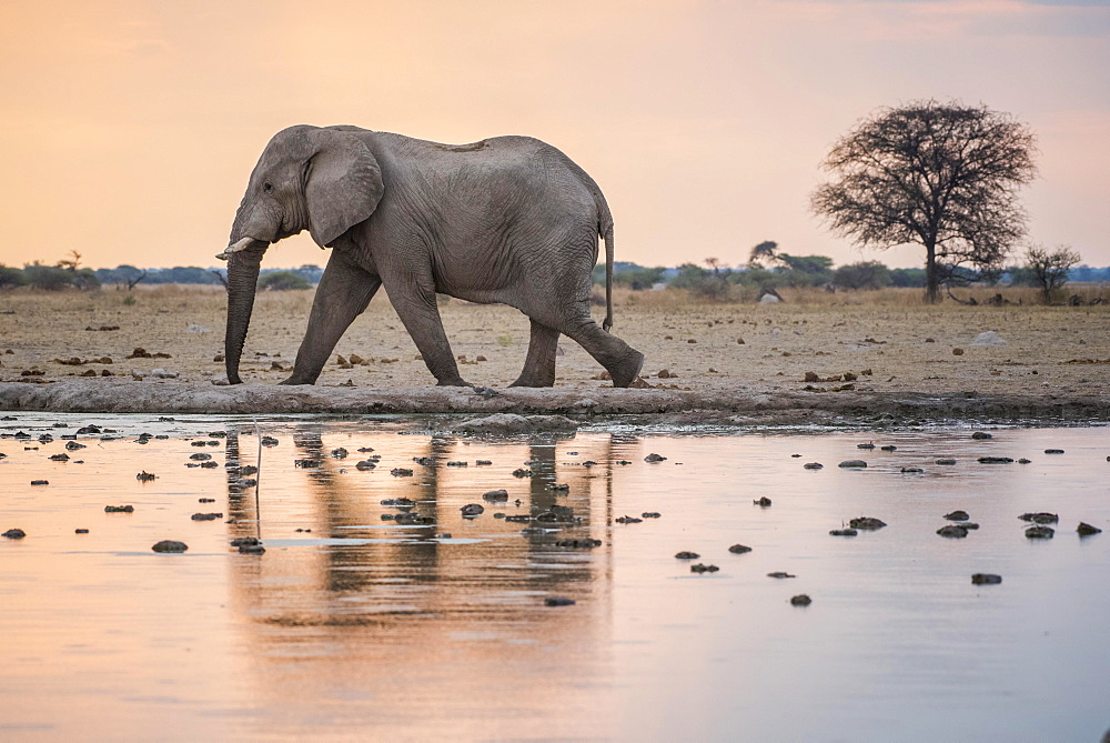 African elephant (Loxodonta africana) at a waterhole, Nxai Pan National Park, Ngamiland District, Botswana, Africa