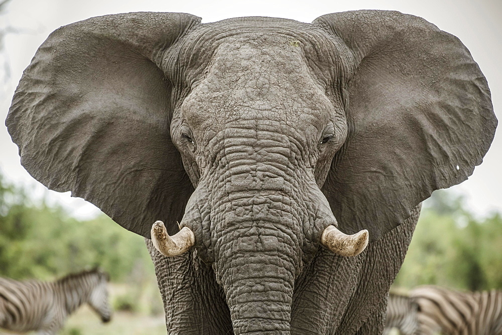 African elephant (Loxodonta africana), Portrait with extended ears, aggressive, Close Up, Marabou Pan, Savuti, Chobe National Park, Chobe District, Botswana, Africa