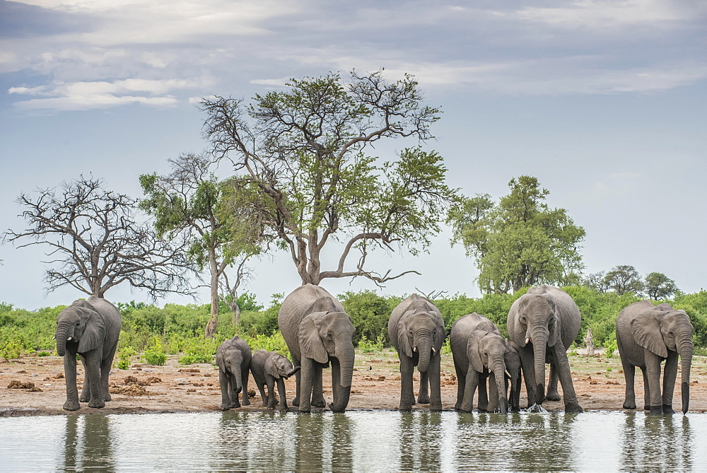 African elephants (Loxodonta africana), herd with young animals drinking at a waterhole, Savuti, Chobe National Park, Chobe District, Botswana, Africa
