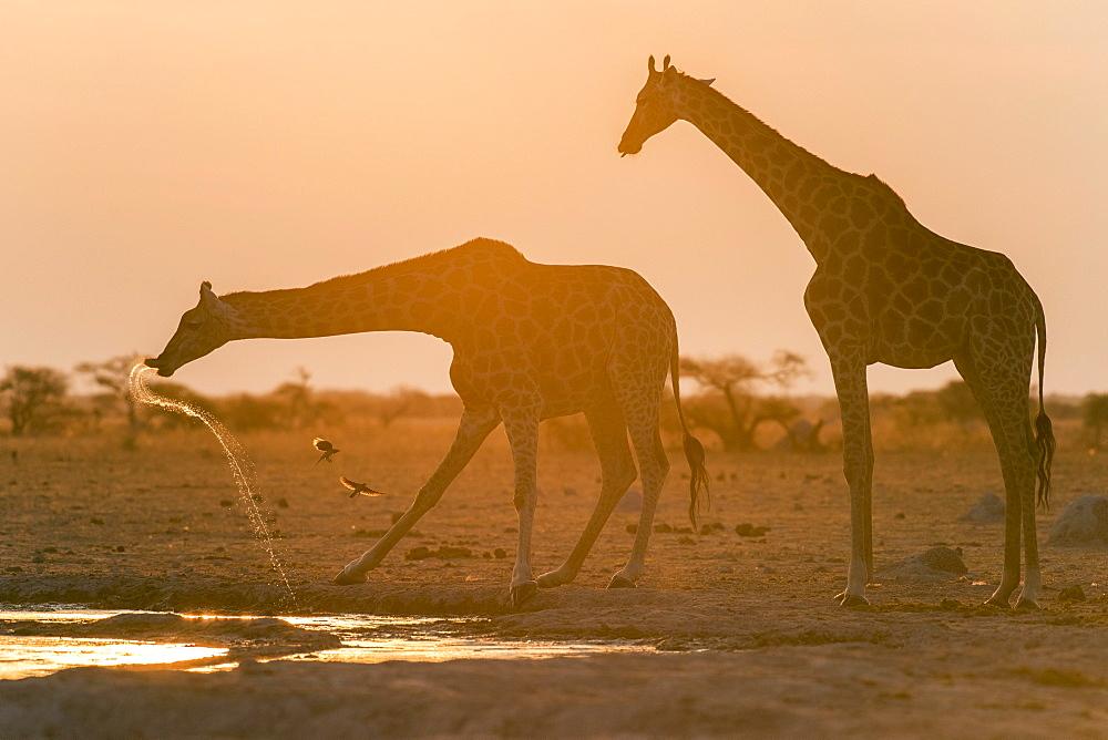 Giraffes (Giraffa camelopardalis), drinking at sunset at a waterhole, Nxai Pan National Park, Ngamiland District, Botswana, Africa