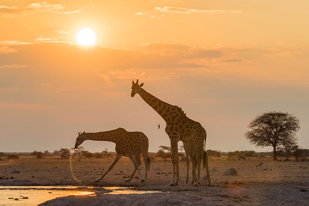 Giraffes (Giraffa camelopardalis), drinking at sunset at a waterhole, Nxai Pan National Park, Ngamiland District, Botswana, Africa - 832-379045