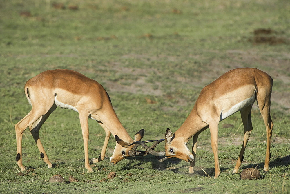 Impalas (Aepyceros melampus), two bucks fighting, Chobe River Front, Chobe National Park, Chobe District, Botswana, Africa