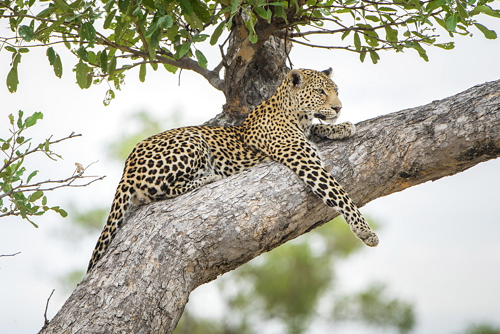 Leopard (Panthera pardus), lying on tree on the lookout, Peter's Pan, Savuti, Chobe National Park, Chobe District, Botswana, Africa