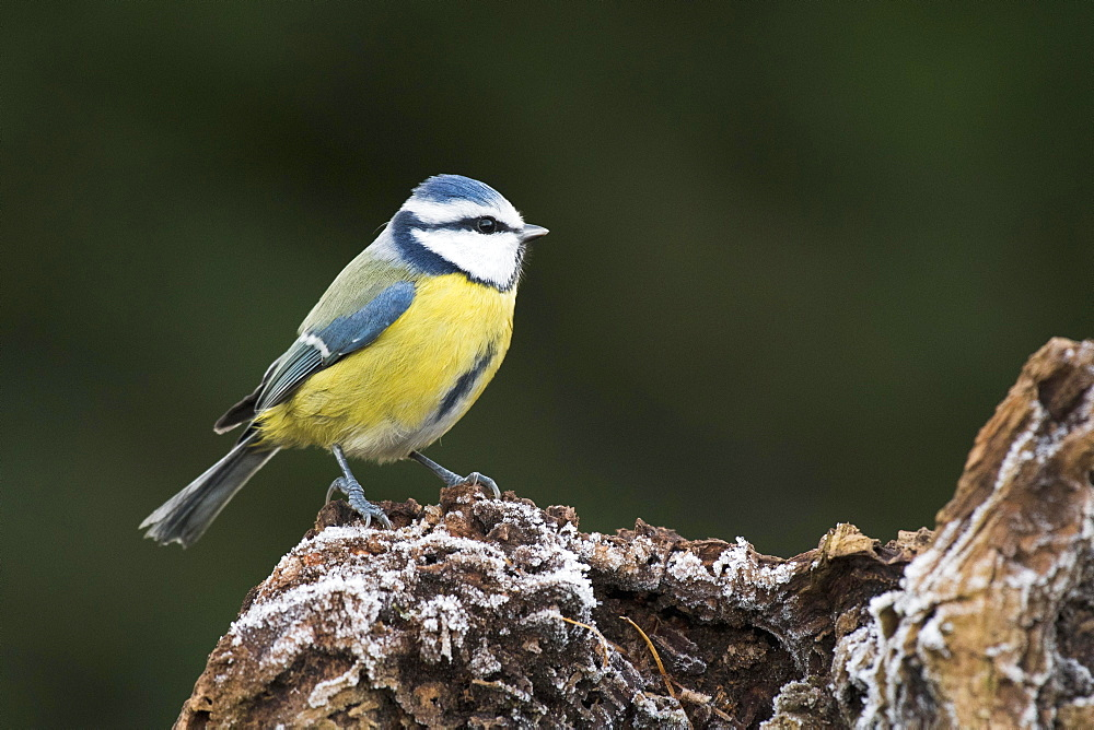 Blue Tit (Parus caerulea), Emsland, Lower Saxony, Germany, Europe