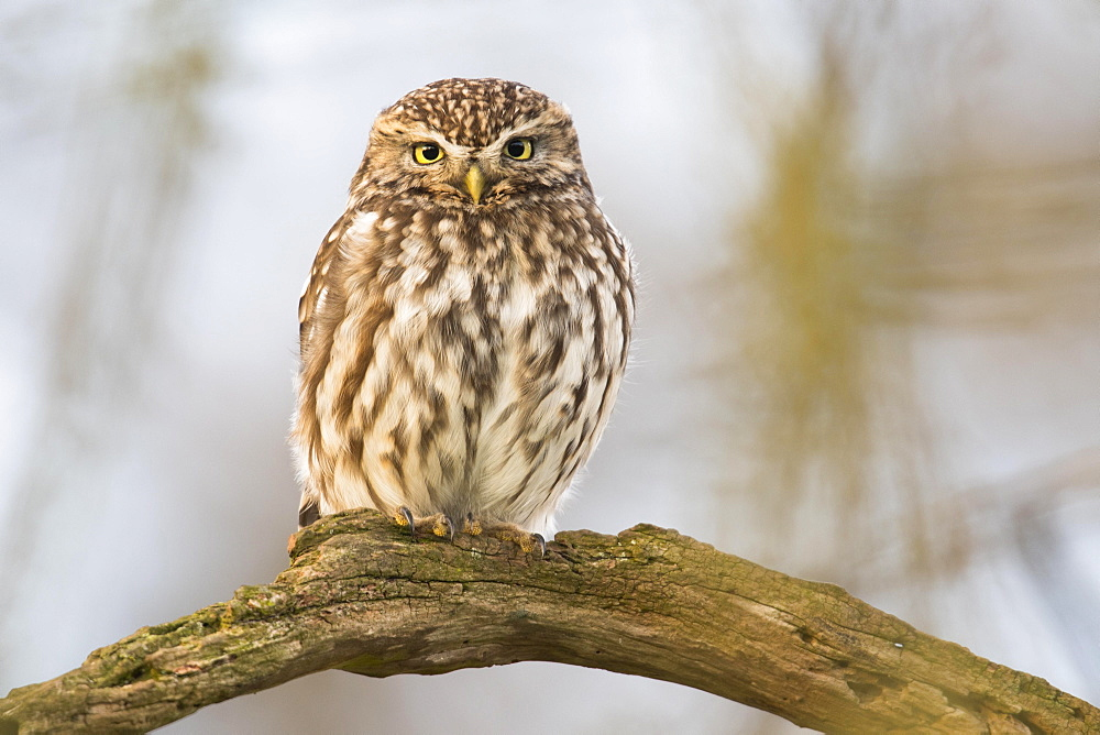 Little Owl (Athene noctua), sitting on tree branch, Emsland, Lower Saxony, Germany, Europe