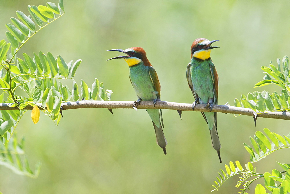 European bee-eaters (Merops apiaster) sitting on branch of an acacia, Baden-Wurttemberg, Germany, Europe