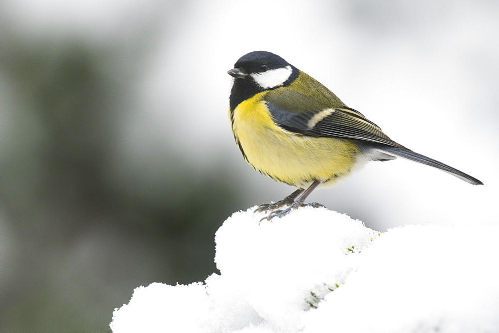 Great tit (Parus major) in the snow, Emsland, Lower Saxony, Germany, Europe