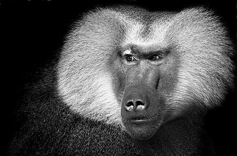 Portait von einem Pavian in schwarz-weiß schaut neugierig |