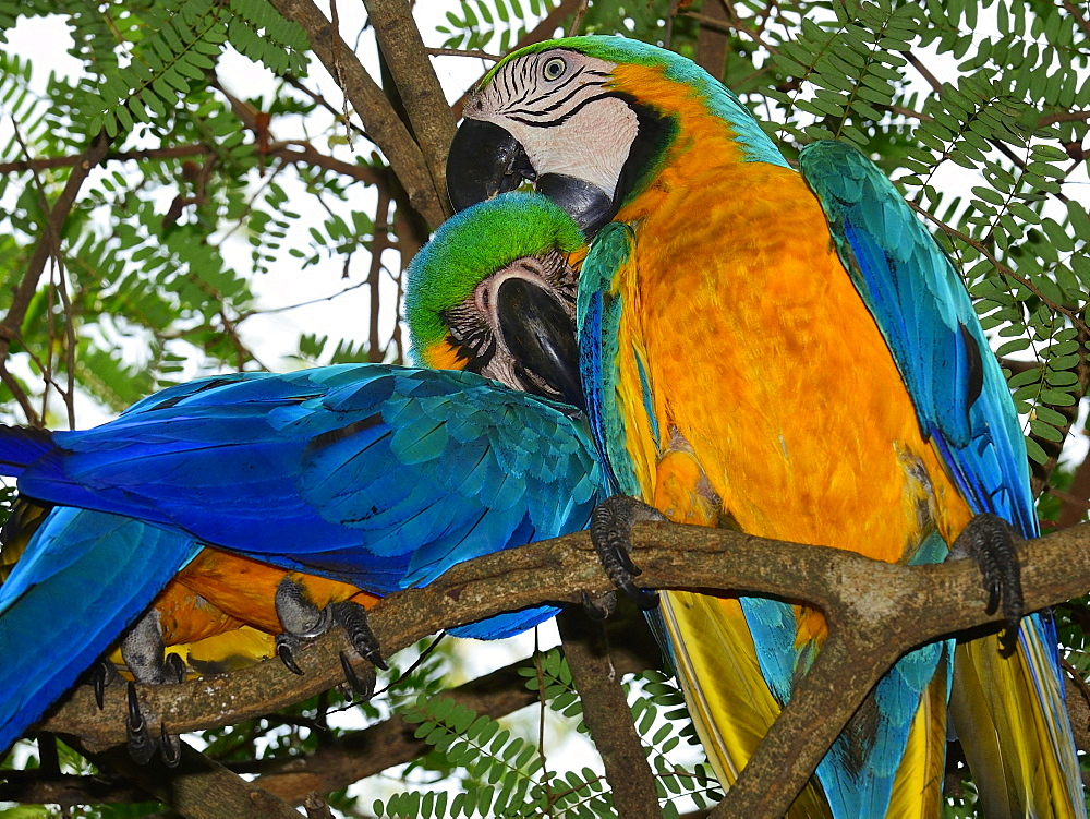Blue and yellow macaws (Ara ararauna) sitting in a tree, pair grooming, Matto Grosso do Sul, Brazil, South America